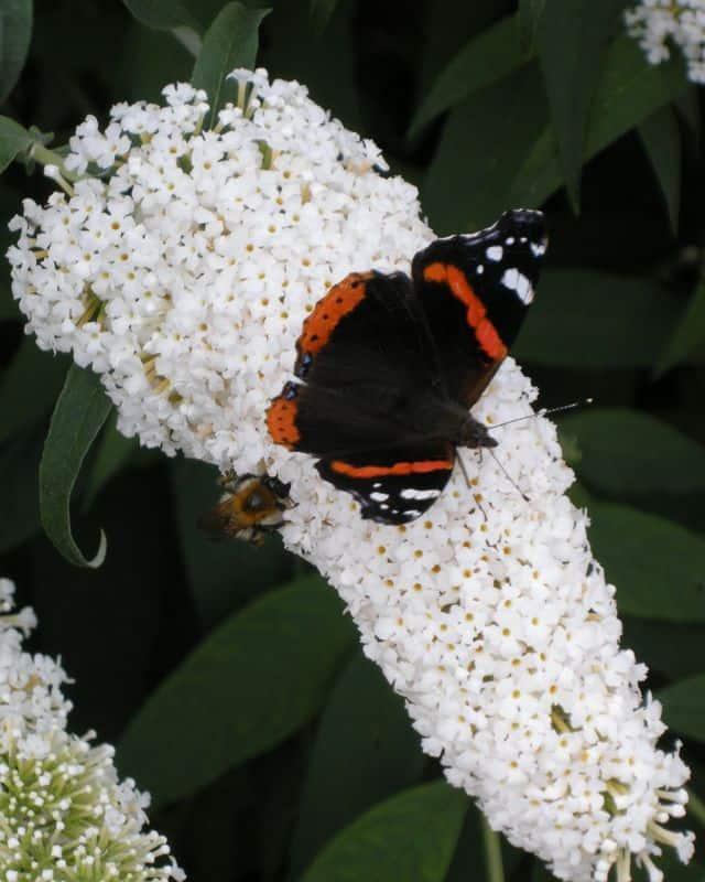 Butterfly Bush di colore bianco: attira impollinatori e farfalle.