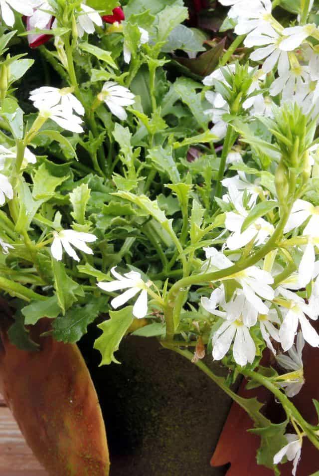 Fan Flower, un fiore bello da vedere che richiede poca manutenzione.