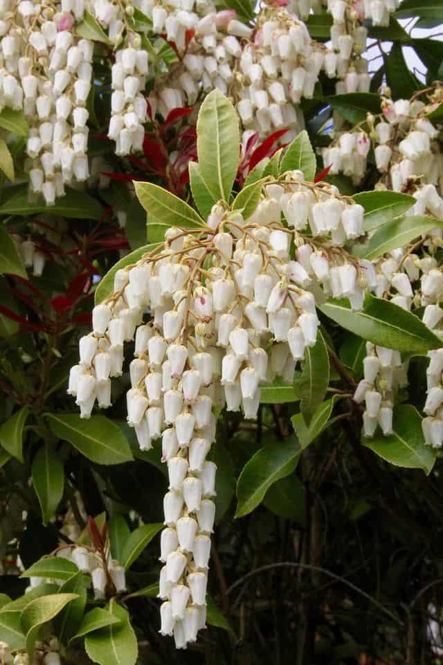 Fiori bianchi a decorazione di un giardino: il mughetto