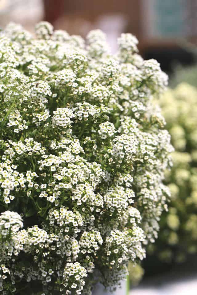 Alyssum, un fiore a cascata perfetto per decorare il giardino.