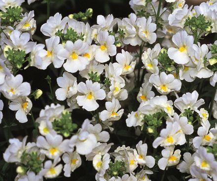 Nemesia, una pianta annuale dai fiori che assimigliano alle bocche di leone.