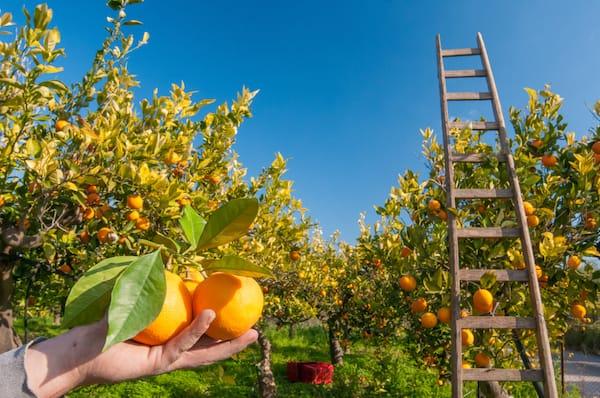Coltivazioni di alberi di arancio, nella varietà Tarocco giallo.