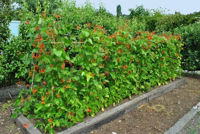 pianta di fagioli decorativi, il fagiolo scarlatto