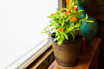 coltivare le zinnie in vaso