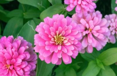 bellissime zinnie rosa: come coltivare