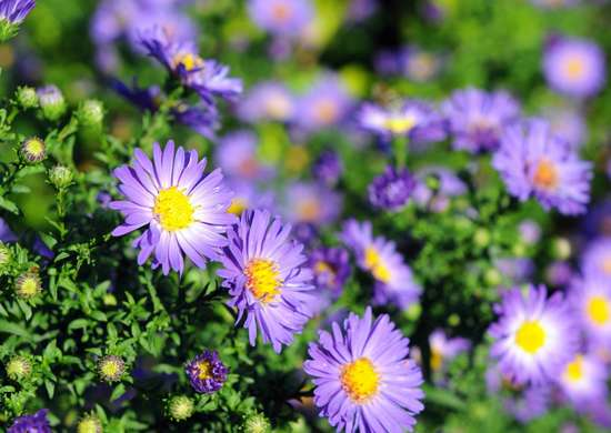 L'astro era utilizzato un tempo come pianta medica e curativa: gli antichi lo usavano come un vero e proprio antinfiammatorio