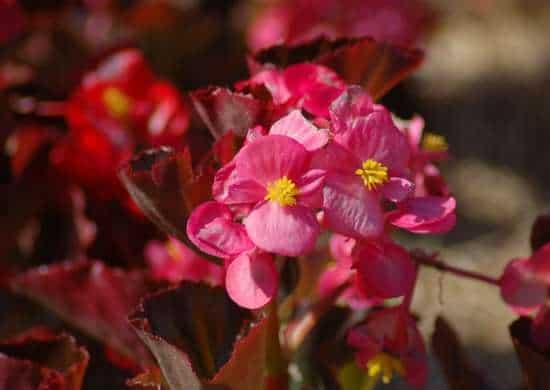 La begonia arriva dall'America Latina e, per le sue origini, ama particolarmente le temperature alte