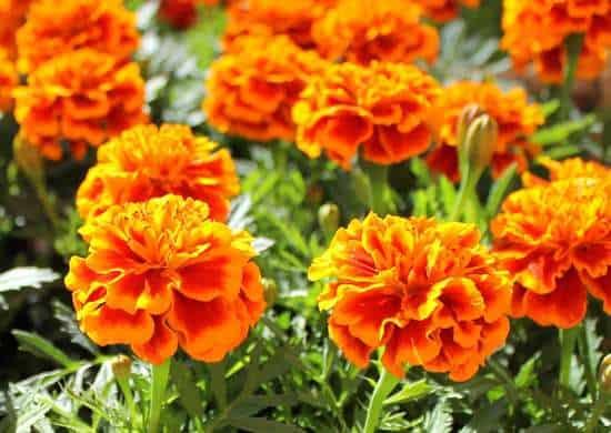 La calendula, con i suoi bellissimi fiori gialli e arancioni, è un'aggiunta brillante per qualsiasi giardino