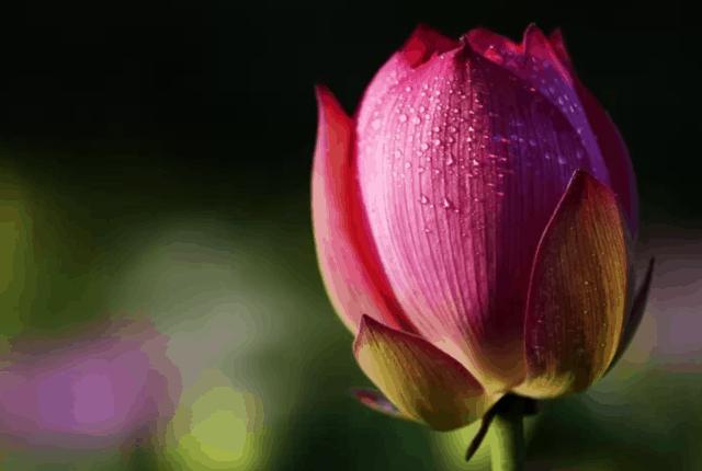 Il loto è un fiore sacro per i buddisti e simboleggia la purezza, l'armonia, la divinità e la grazia