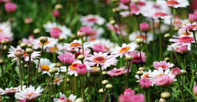 prato di margherite, uno dei fiori più comuni al mondo