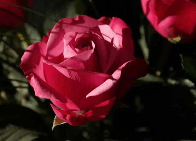 Le rose coltivate naturalmente hanno solo cinque petali e cinque sepali. L'unica eccezione è la Rosa Sericea - una specie di rosa ha solo 4 petali.