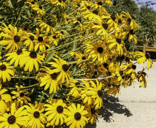 Il Susan dagli occhi neri è un fiore che attira le farfalle e ha bisogno di sole