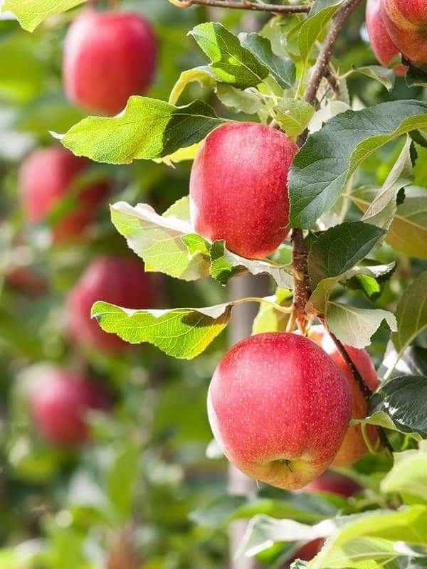albero da frutta
