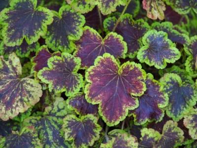 """X Heucherella """"Art Nouveau"""" a foglia verde e viola per il giardino a primavera"""