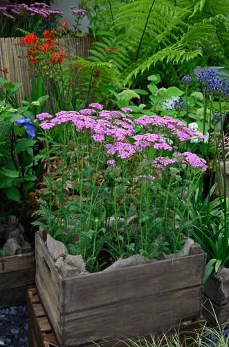 """Achillea millefolium """"Pretty Belinda"""" rosa fuchsia che fiorisce a primavera"""