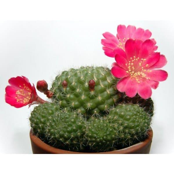 La Rebutia Minuscula, una pianta grassa resistente al freddo.