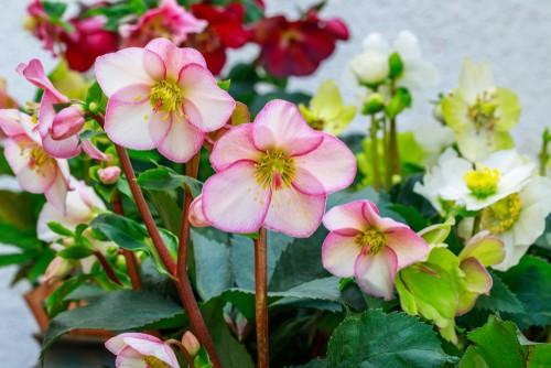 elleboro o rosa di natale, da mettere in balcone o in terrazzo in inverno perchè resiste al freddo