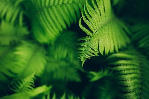 La felce, una pianta perfetta da regalare a Natale