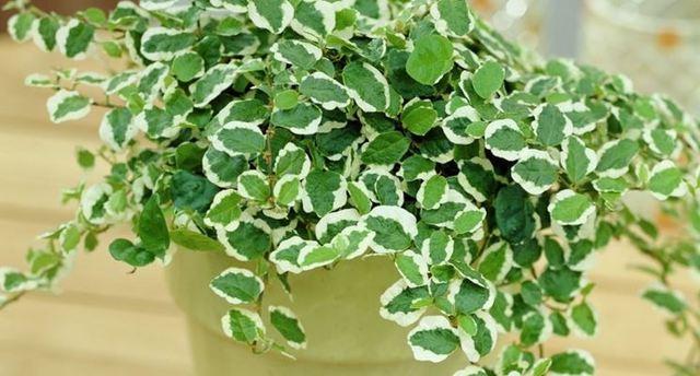 Ficus pumila, una pianta da interno perfetta per la stagione autunnale.