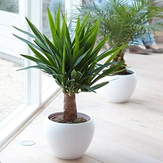 Yucca, un piccolo albero di origine tropicale ideale da coltivare in autunno.