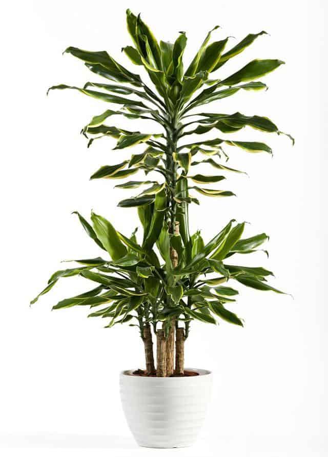 Tronchetto della felicità, una pianta ideale per l'indoor.