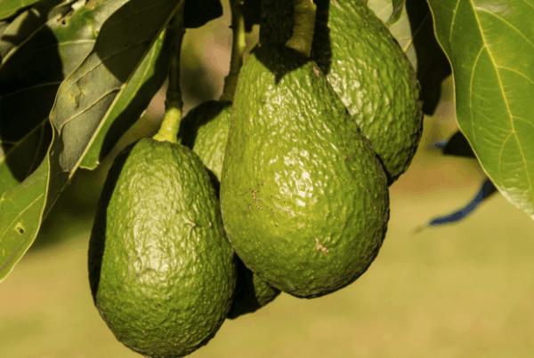 coltivare l'avocado