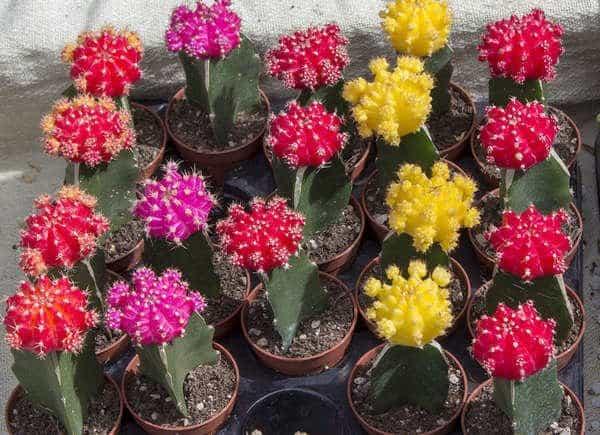 Cactus della luna, una pianta semplice da coltivare.