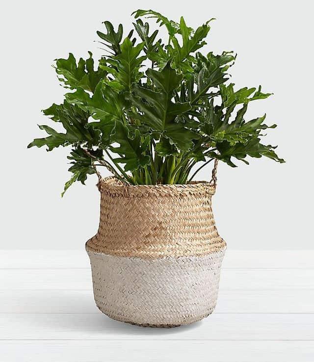 Filodendro, una pianta perfetta per la casa.