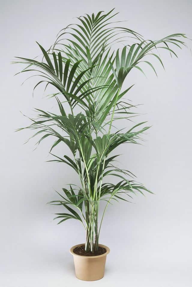 Palma Kentia, un'elegante pianta da interno.