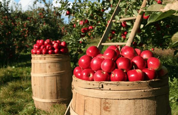 come coltivare la mela