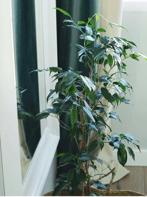 Ficus benjamin, una pianta perfetta per rinfrescare la casa.