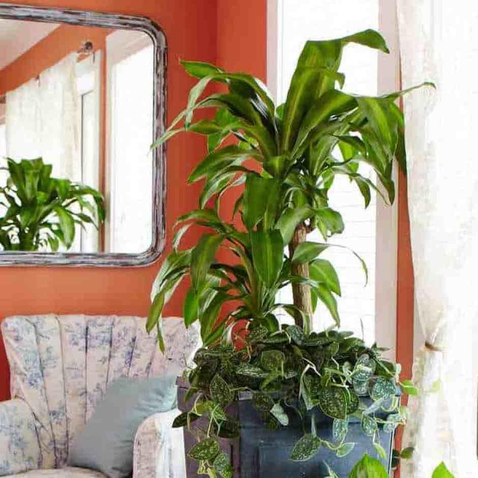 Dracena fragrans, una pianta di interni che ha bisogno di poca luce