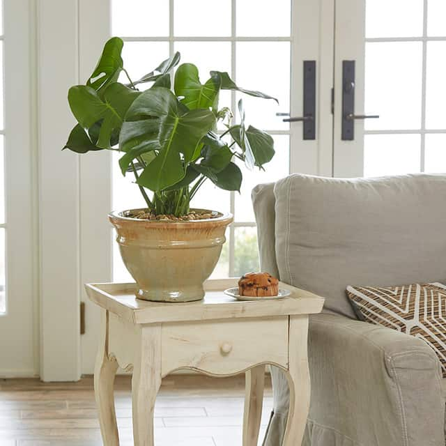 Monstera, una pianta da interno che ha bisogno di poca luce.