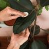 come pulire le piante d'appartamento
