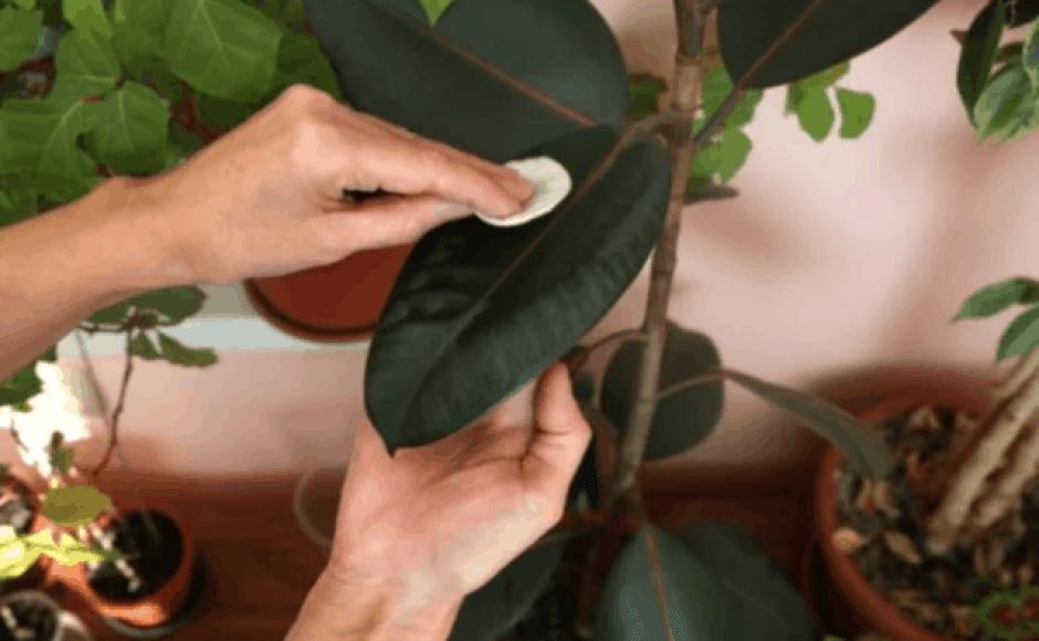 pulizia delle piante d'appartamento