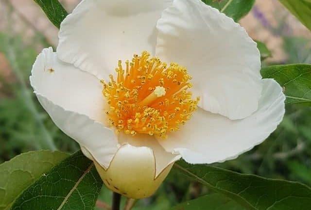 Fiore dell'albero di Franklin, appartenente alla famiglia delle piante di tè.