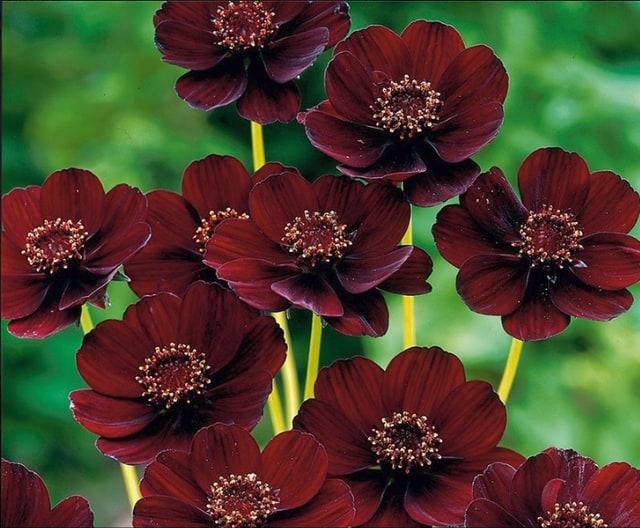 Fiore di cioccolato, chiamato così per i suoi fiori di colore rosso-marrone.