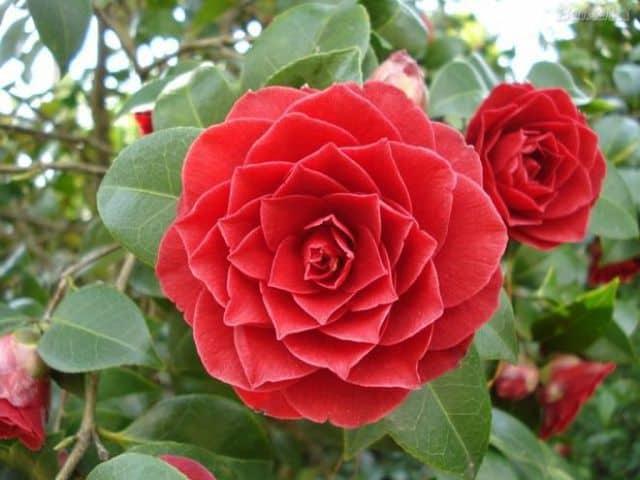 Middlemist Red, un fiore rosso che assomiglia a una rosa.
