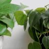 Pothos e Filodendro, due piante d'appartamento