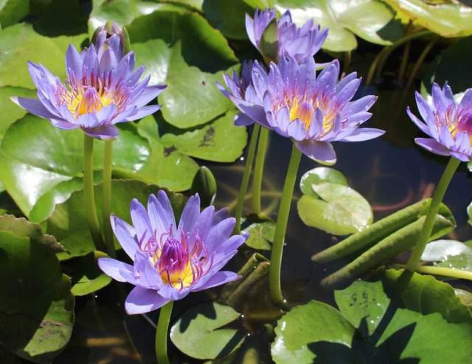 Ninfee tropicali, bellissimi fiori che crescono nell'acqua.