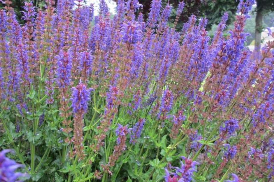 Salvia dei boschi, una specie di salvia di colore viola.