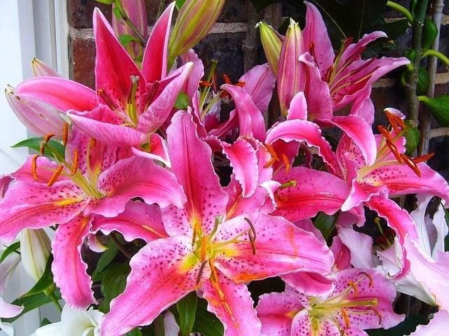 Giglio orientale di colore rosa