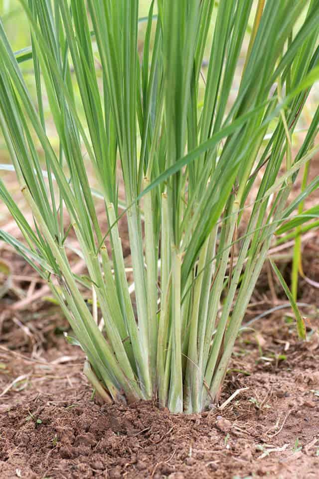 pianta di citronella, un'erba ornamentale a crescita rapida.