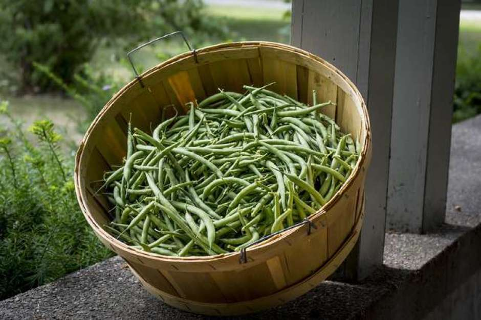 Fagiolini, un ortaggio semplice da coltivare