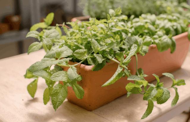 Menta coltivata in vaso