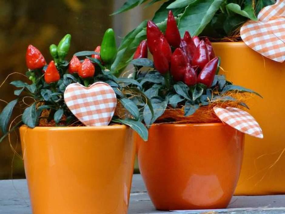 Peperoncino, una pianta da coltivare anche in poco spazio