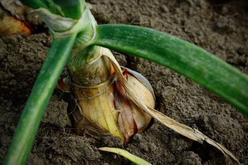 scalogno, un ortaggio facile da coltivare in vaso