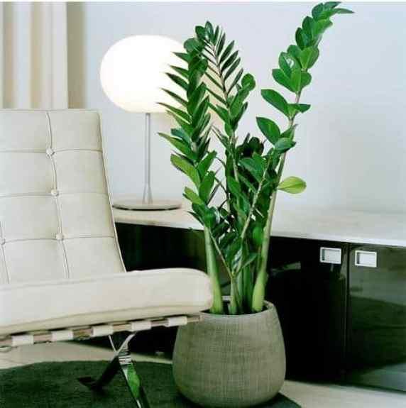 Zamioculcas, una pianta ideale per gli spazi interni