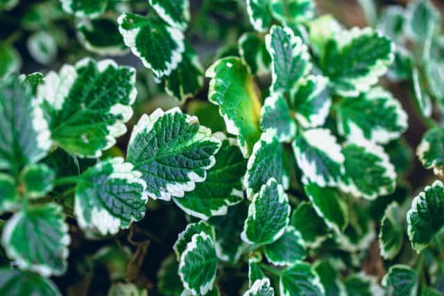 folgie verdi della pianta dellincenso