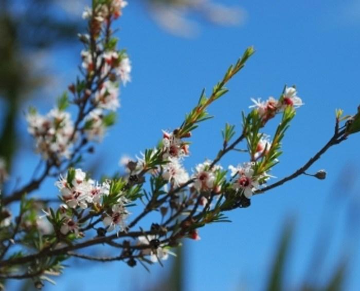 Huile tea tree